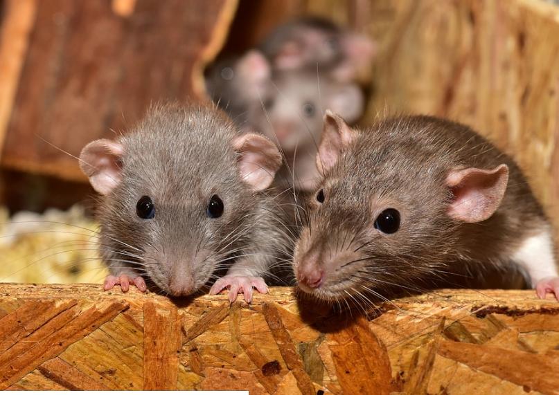 Appât Bayer pour rats et souris